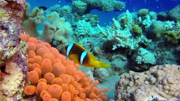 Cover Image for Clown Fish and Red Sea Anemone