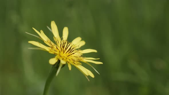 Thumbnail for Close-up of   meadow salsify plant  4K 2160p 30fps UltraHD footage - Shallow DOF yellow flower Trago