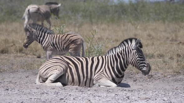 Thumbnail for Mother and baby zebra on a dry savanna