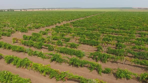Thumbnail for Aerial View on Extensive Vineyards in Russia