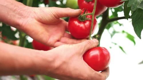 Male Hands Harvesting Ripe Tomatoes Growing in the Garden