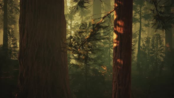 Thumbnail for Loop Giant Sequoia Trees at Summertime in Sequoia National Park, California