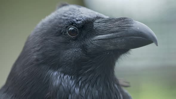 Thumbnail for Close Up Portrait of Raven. Bid Smart Black Bird Is Staring in Camera.