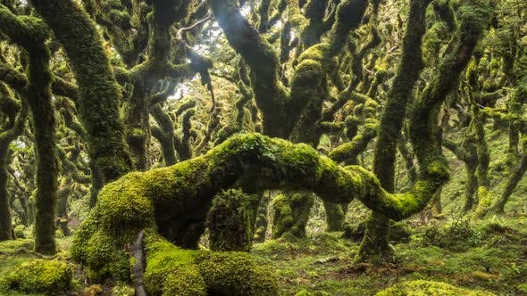 Thumbnail for Magic Green Rain Forest with Trees Covered with Moss in New Zealand Wild Nature