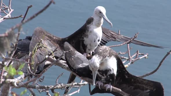 Thumbnail for Female frigate birds at the Galapagos Islands