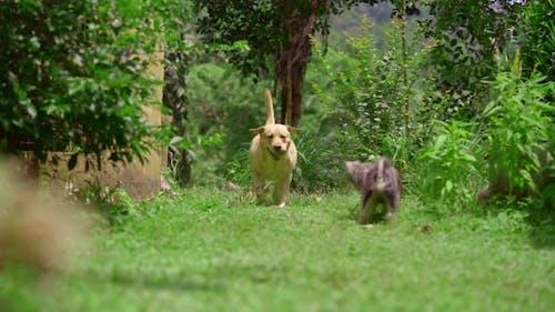 labrador dog walking slow-motion