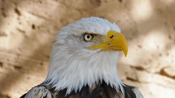 Bald Eagle Screaming Closeup
