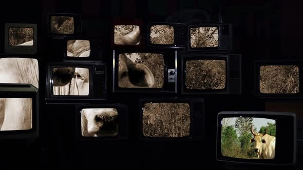 Thumbnail for Brown Horned Cow looking On Vintage Televisions.