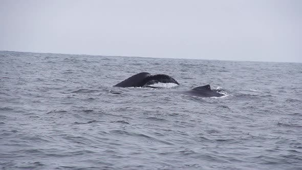 Thumbnail for Humpback Whale Slow Motion