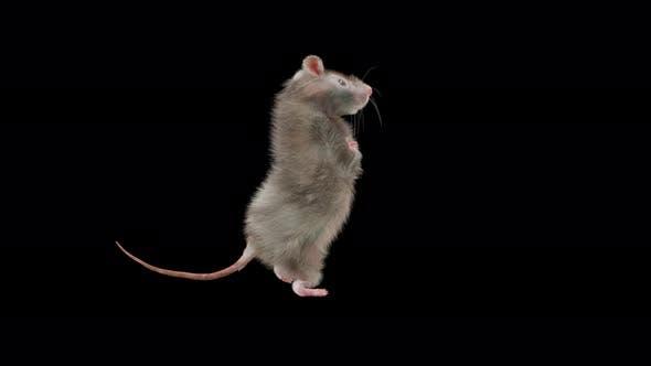 Thumbnail for Rat Dancing 4K