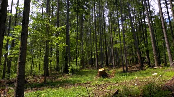 Cut trees in the green forest. Deforestation. Log trunks pile, the logging timber wood industry