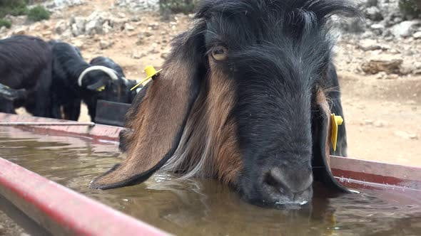 Thumbnail for A Goat Drinking Water From the Trough