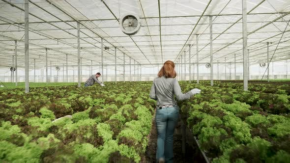 Thumbnail for Female Agronomist Walking in a Greenhouse Checking Growing Green Salad