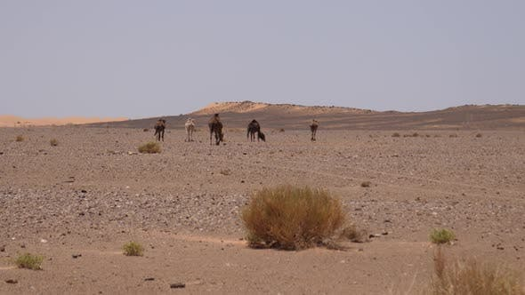Thumbnail for Herd dromedary camels walking at the Erg Chebbi Sahara Desert