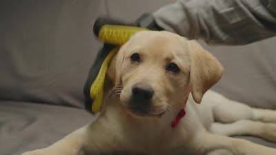 Pet Owner's Hand in Yellow Brushing Glove Combing Labrador Retriever Puppy Laying on Grey Couch