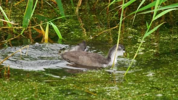 Bühl und Küken Schwimmen in Teich