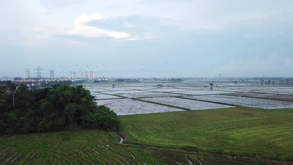 Aerial View with flock of Asian openbill stork birds