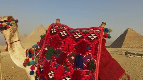 closeup of camel at Giza pyramids