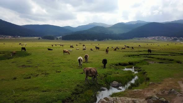 Thumbnail for Grassing Cattle Beautiful Tranquil Green Land Forest Mountains Drone View