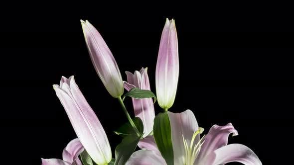 Thumbnail for Blue Iris Or Blueflag Flower Blooming