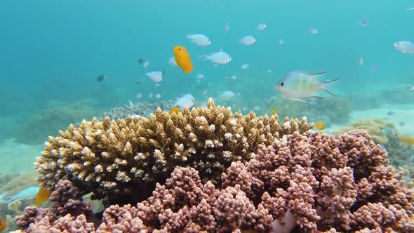 Thumbnail for The Underwater World of a Coral Reef. Leyte, Philippines