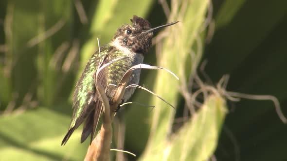 Thumbnail for Annas Kolibri Männlich allein ruht in Kalifornien
