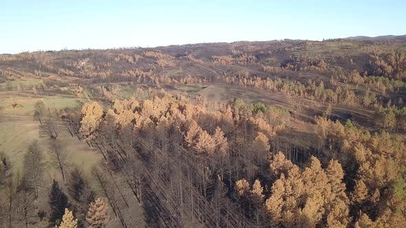 Forest Custer State Park Dead Dying in Spring Burned Burn Scarred Brown Needles Fire Ash