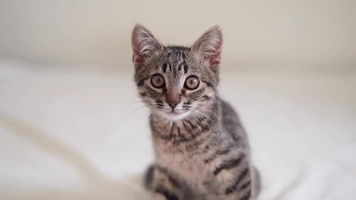 Close Up of Domestic Small Tabby Kitten with Big Eyes
