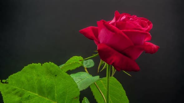Rose Blossoming 1