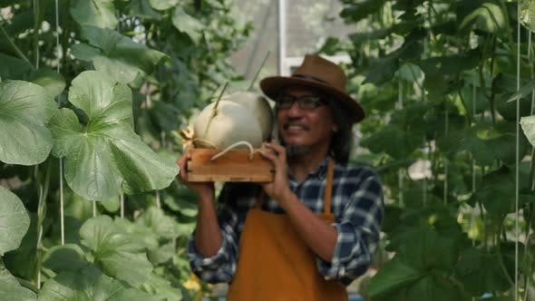 Gardener is harvesting melons in a greenhouse farm