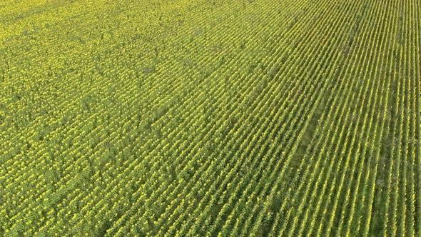 High above sunflower Helianthus annuus crop 4K aerial footage