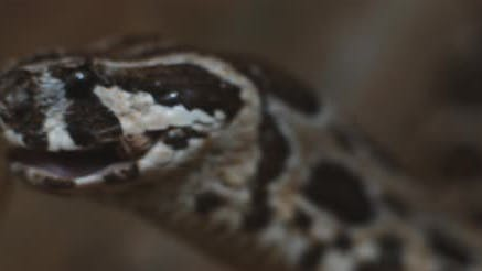 Close up of a viper snake slowly swallowing a mouse, feeding.