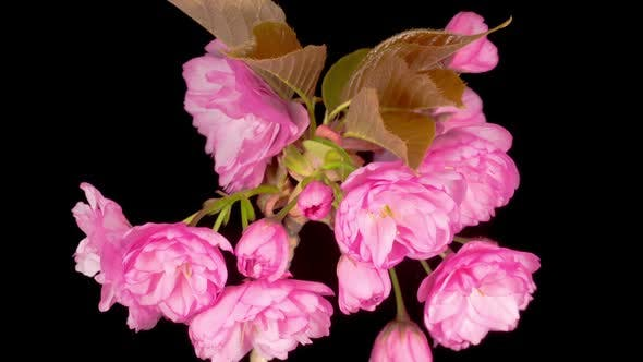 Thumbnail for Time Lapse of Beautiful Opening Pink Sakura Flowers Bunch