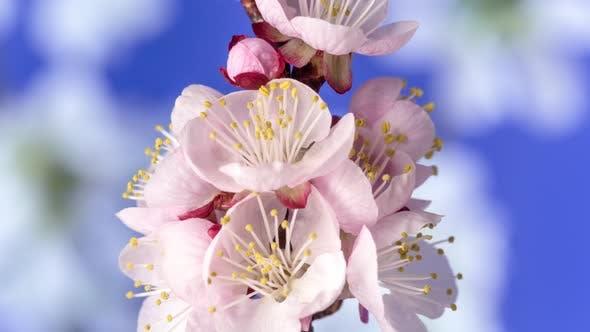 Thumbnail for Apricot Fruit Flower Timelapse on Blue 3