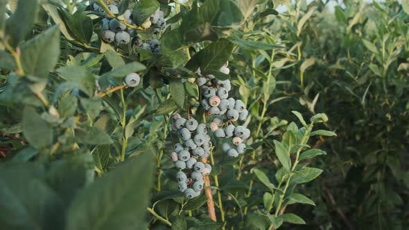 Thumbnail for Fresh and Ripe Organic Blueberries Grow in a Garden on a Summer Day. Blueberry Fruit Before Harvest