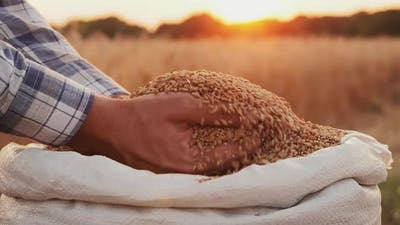 Harvest Closeup of Farmers Hands Holding Wheat Grains