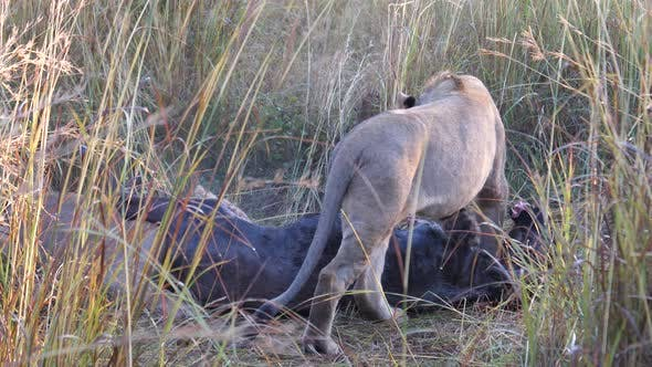 Thumbnail for Lion cubs eating from a wildebeest