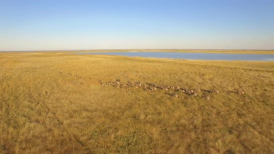 Thumbnail for Aerial drone view of a herd of wildebeest wild animals in a safari in Africa plains.