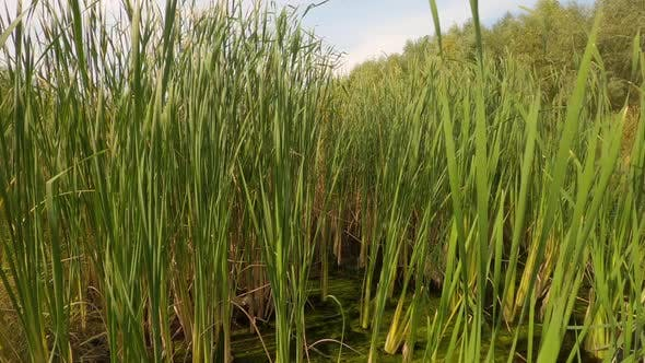 Wild Wetland with the Grass and Reeds in Forest. Concept of Nature