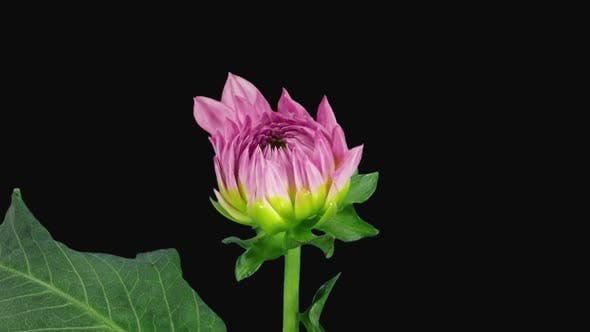 Time-lapse of blooming pink dahlia