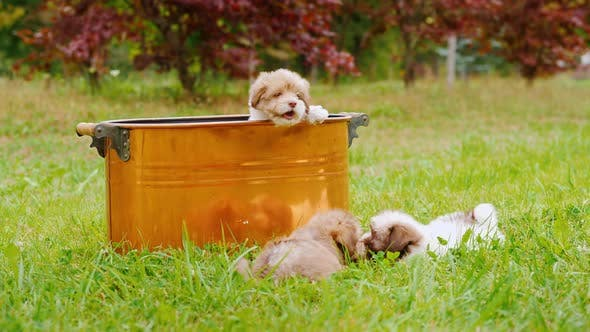 Thumbnail for Funny Puppies Are Playing Around a Copper Bucket on the Lawn