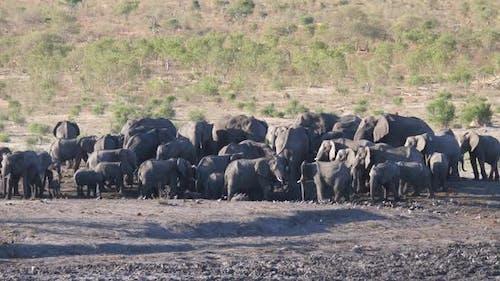 Big herd of African Bush elephants