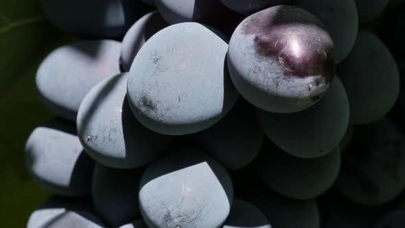 Thumbnail for Dark blue Moldova grapes cluster slow tilt 4K 2160p 30fps UltraHD video - Tilting over juicy fresh v