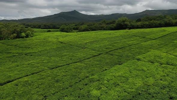 Tea Plantation on the Island of Mauritius