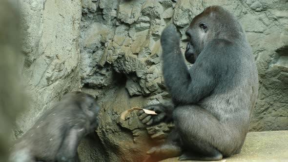 Adult Gorilla Eats Something