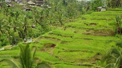 Aerial shot of the lush green rice paddies of Bali.