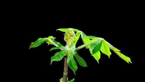 Blooming chestnut branches flower buds, time-lapse with ALPHA matte