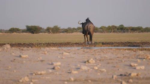 Wildebeest running away