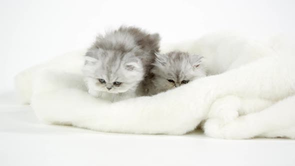 Thumbnail for Two cute fluffy kittens on white blanket