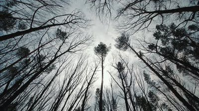 Dark Gloomy Forest and Treetops